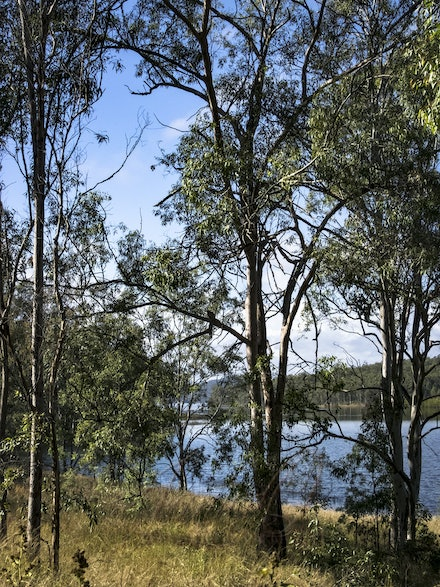 Towards the Dam - Gnarled branches of a gum tree beside the tributary of Wivenhoe Dam.