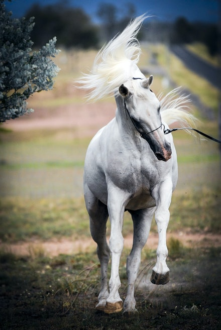 The White Stallion - The mount of kings...