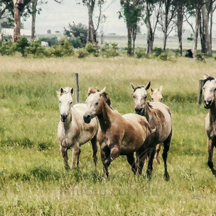 Gallop - Young fillies enjoying a gallop in green fields of Comanche Lodge Arabian stud, Kentville.