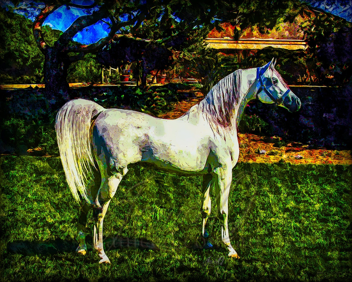The Grey - Heavily stylized image of a grey Arabian stallion on the lawns of a Calfornia Arabian stud.