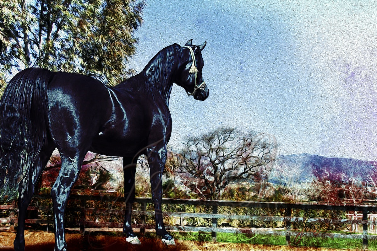 The Black Stallion - A young black, purebred Arabian stallion standing up for visitors to his Santa Ynez home.