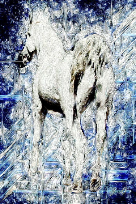 Listening - White Arabian stallion, tail arched high, ready to move, ears flicked back to listen.  The purebred Arabian stallion, Silver Wind Van Nina,...