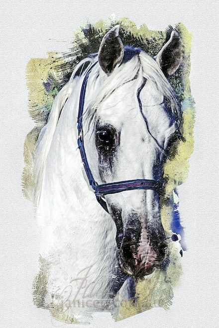 My White Horse - Beautiful head shot of the champion Arabian stallion Silver Wind Van NIna. Mount of king, dream of children.