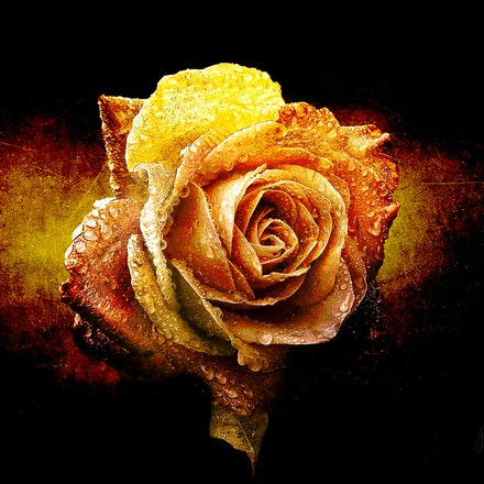 Art of the Rose - Texture painting in Photoshop. Based on an image from Pixabay.com