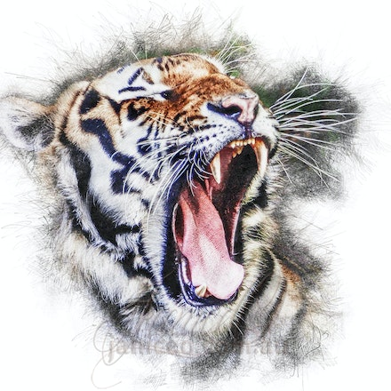 Yawn - The tiger is the largest member of the felid (cat) family. They sport long, thick reddish coats with white bellies and white and black tails. Their...