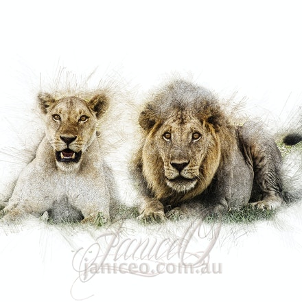 Family - Unlike other cats, lions are very social animals. They live in groups, called prides, of around 30 lions. A pride consists of up to three males,...