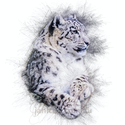 Snow Lepoard - The leopard is the most elusive and secretive of the large felids. They are extremely difficult to trace and locate in the wild.