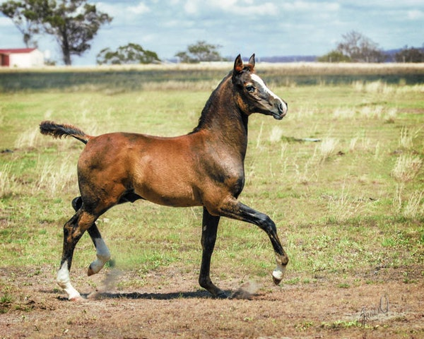 Peter the Great - A pure Crabebt Arabian colt foal showing off in his paddock at home. Image captured by Sharon Meyers Photography, retouched by JaniceO