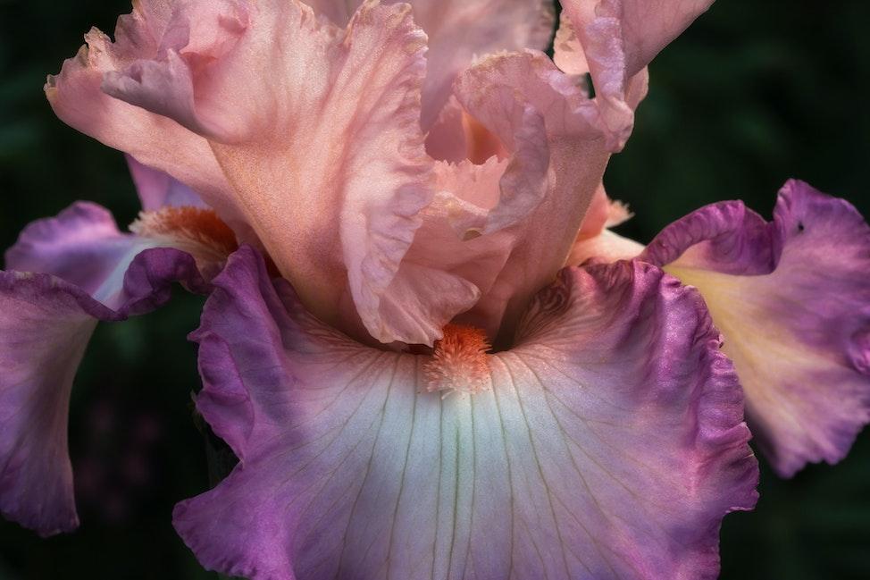 Iris 14