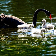 Black Swans - These are some images I photographed at Robina, on the Gold Coast.