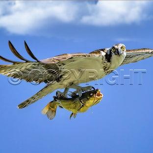 Birds of Prey Prints - Variety of eagle, harriers, owls birds of prey.