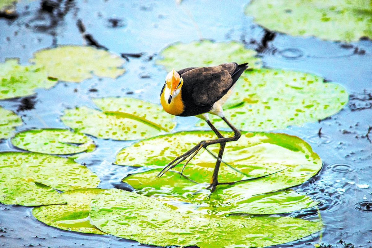 Yellow Waters Jesus Bird-7 - Yellow Waters Jesus Bird