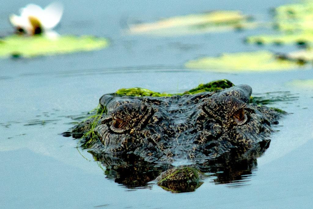 Stalking Croc # 32
