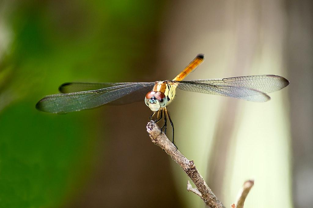 Dragon Fly # 11