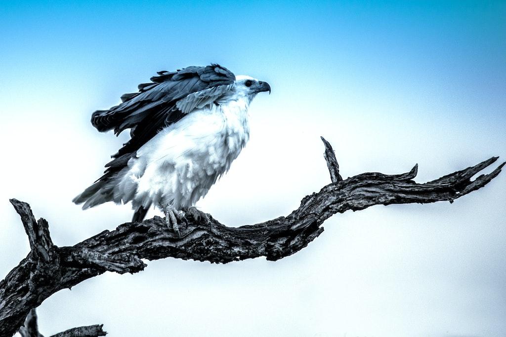 White-bellied sea eagle # 42