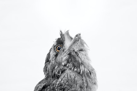 TAWNY FROGMOUTH BABY