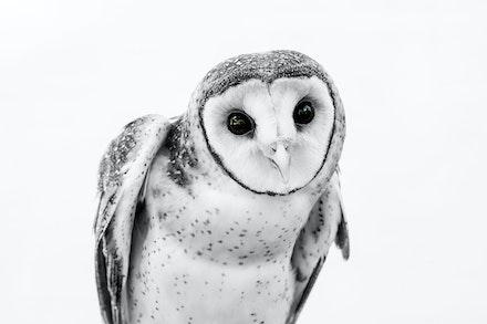 TIWI MASKED OWL