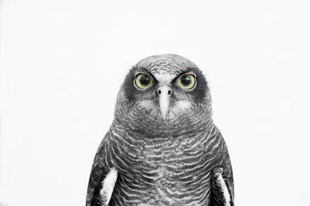 'RUBY' RUFOUS OWL
