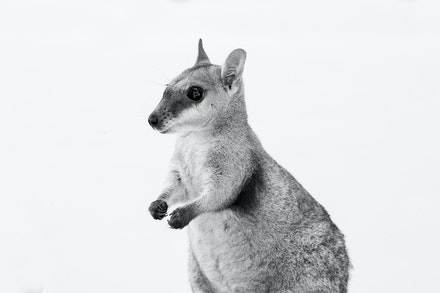 NARBALEK ROCK WALLABY