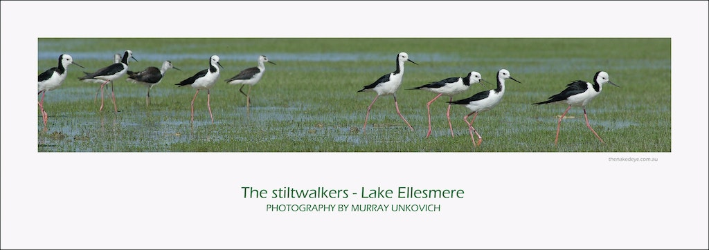 The stiltwalkers of Ellesmere - I went to Lake Ellesmere in new Zealand looking for the somewhat curious Wrybill, a bird who's beak always curves to the...