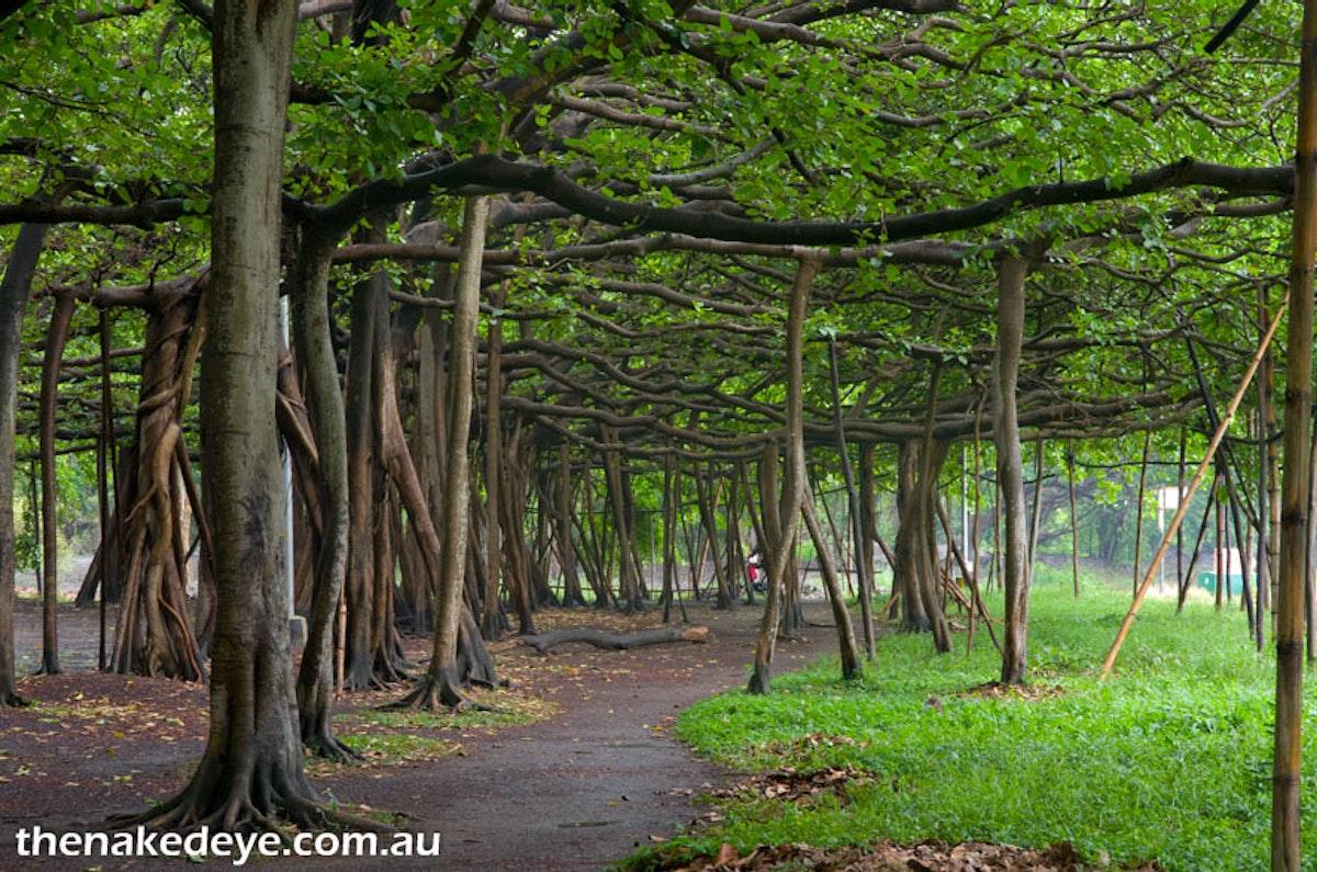 IMGP2286 - Kolkata Botanic Garden, Banyan tree