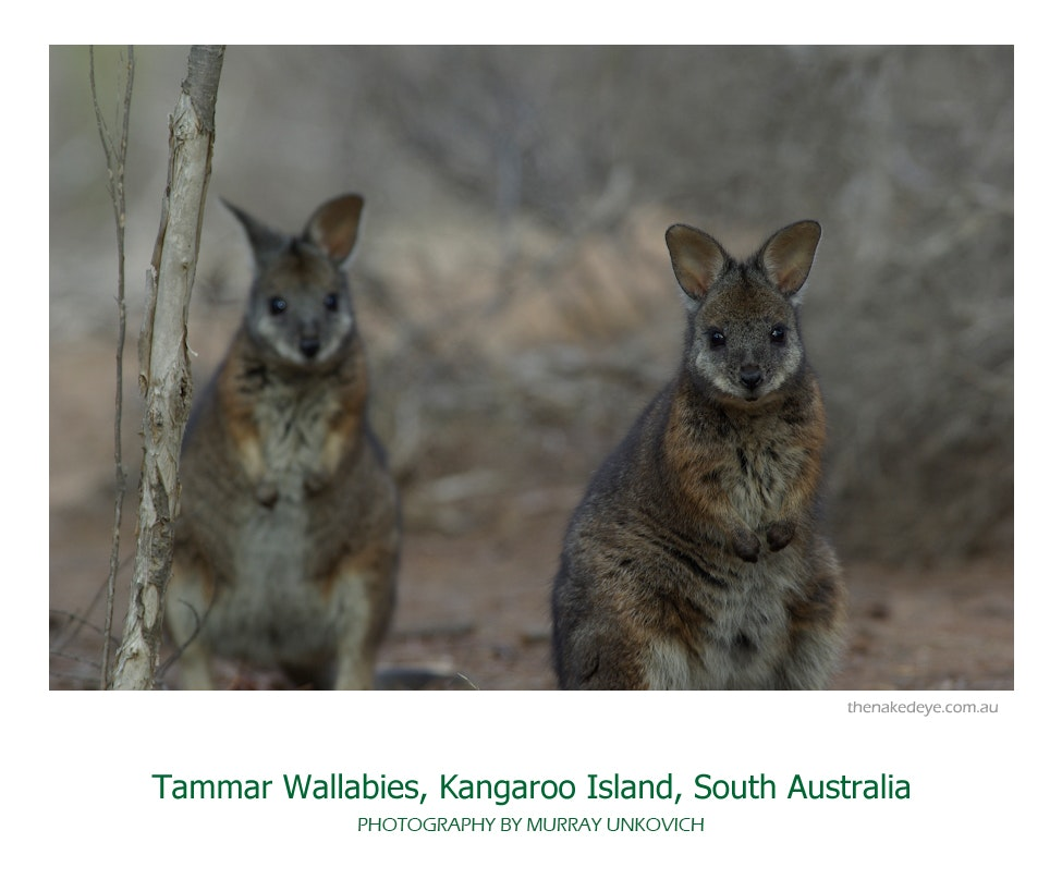 Tammar wallabies