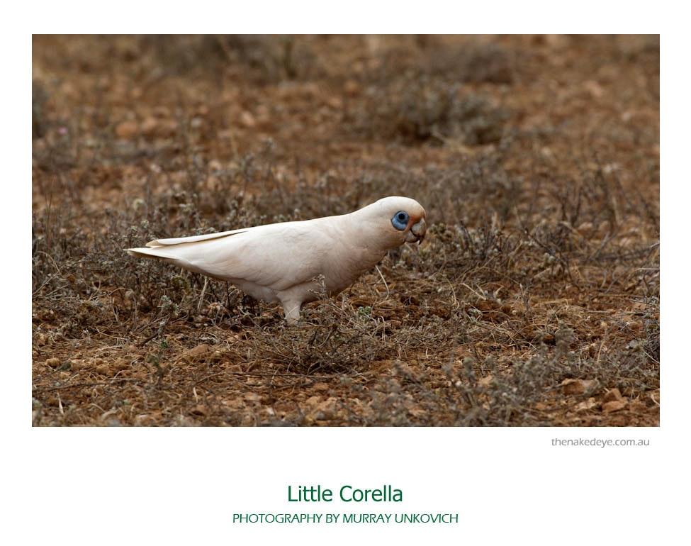 Little corella