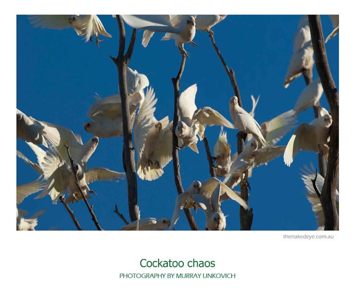 Cockatoo chaos