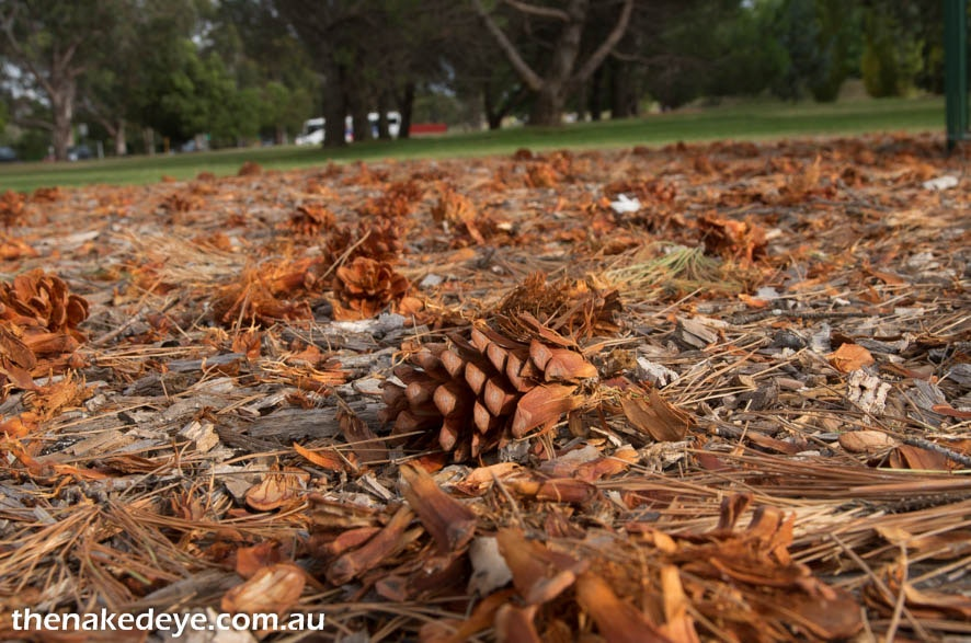 IMGP3877 - Lone Pine, Canberra