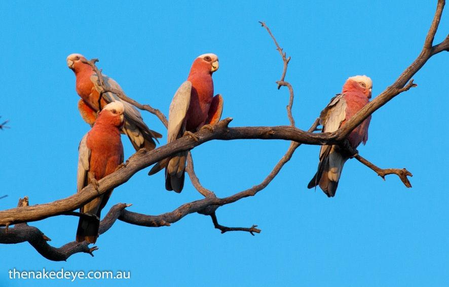IMGP7538 - Redbanks Conservation Park, Galah ANZANG