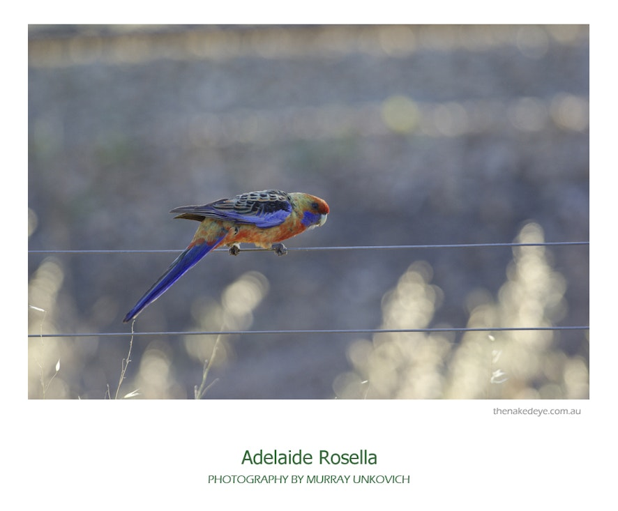 Adelaide_Rosella