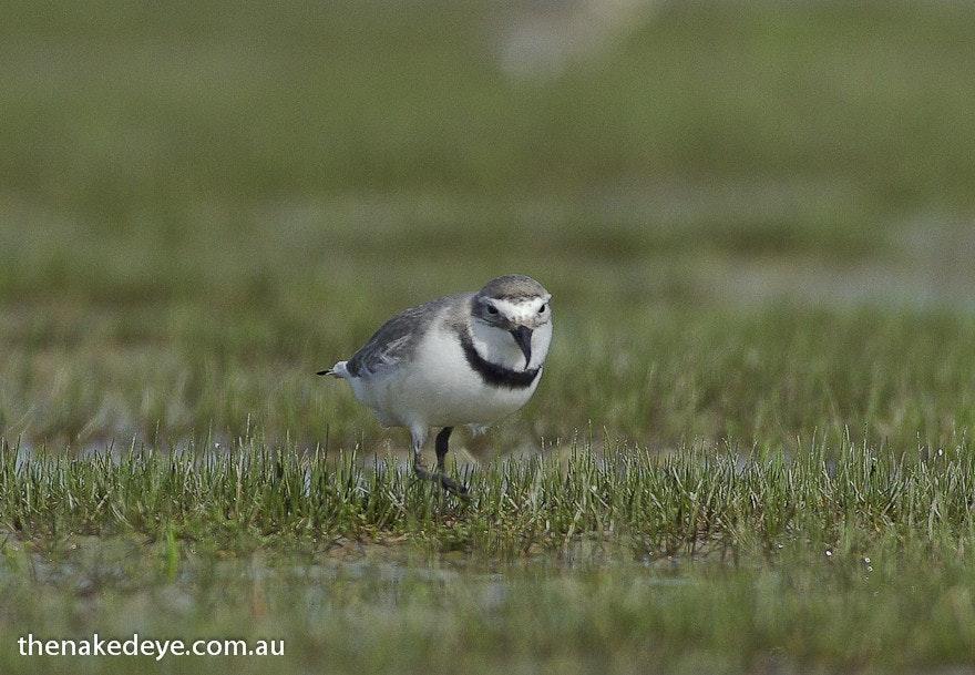 IMGP1724 - Wrybill, New Zealand