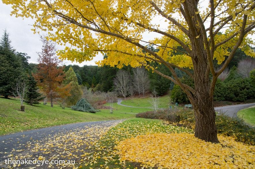 IMGP2122 - Ginko biloba, Mt Lofty Botanic Garden