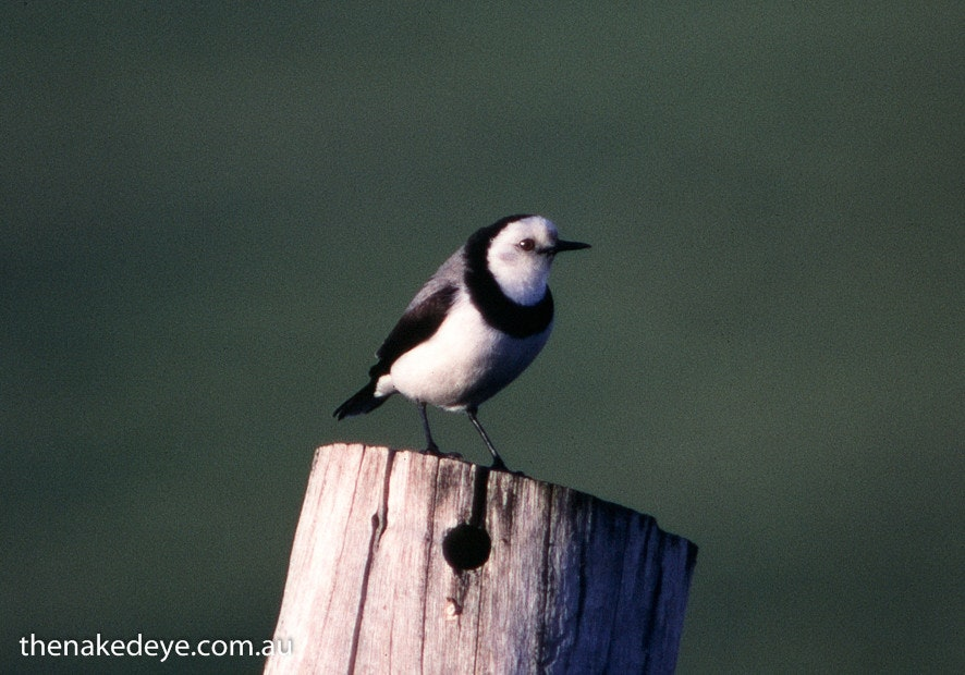 127 - white-fronted chat