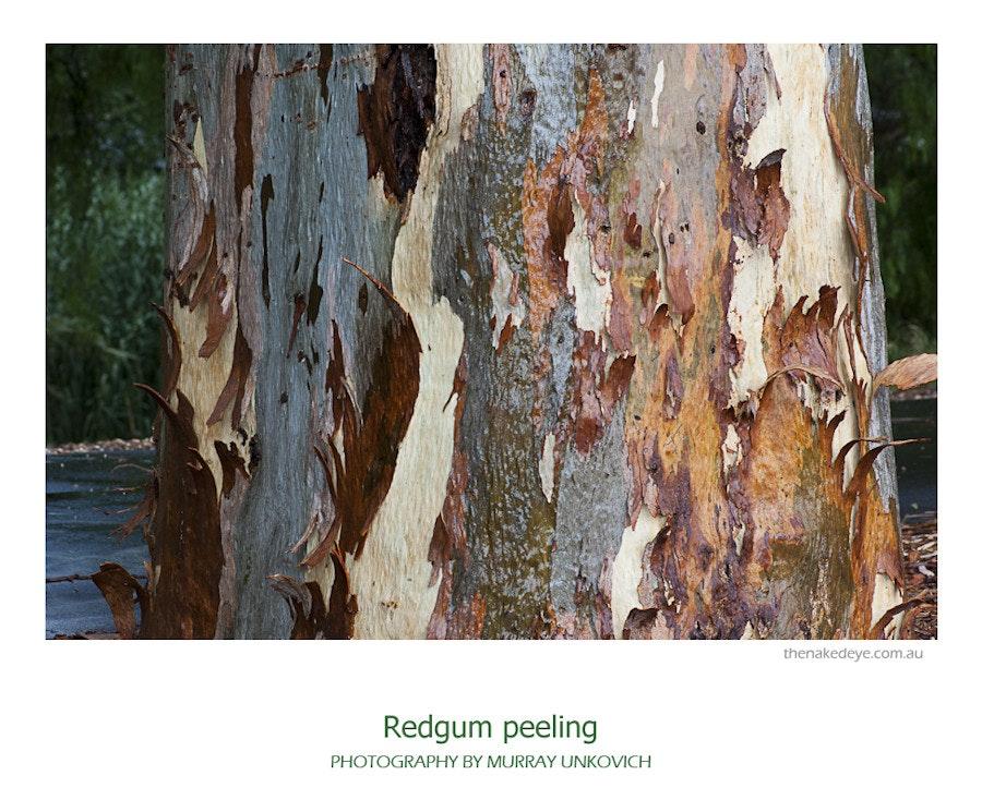 Redgum peeling