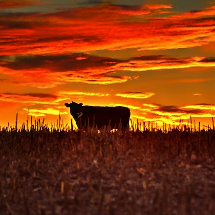 Cow      1.19.2015.10 - Cow. Against a burning Nebraska sunset in Saline County, a lone cow pauses during her evening meal. #nebraska #cow #bovine #salinecounty...