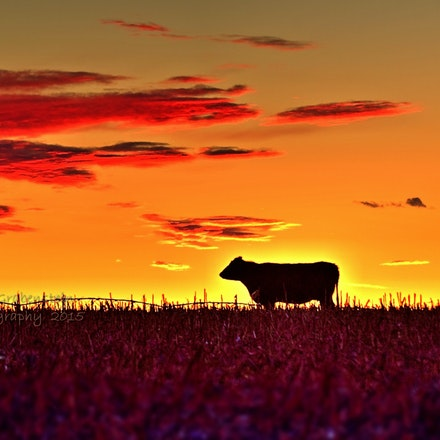 Looking Left    1.19.2015.11 - Looking Left. In a Saline County cornfield, a lone cow is silhouetted against a vivid Nebraska sunset. #nebraska #cow #bovine...