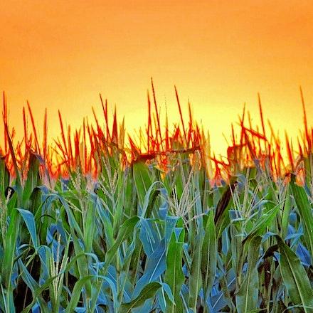 71414 cornfield (8)