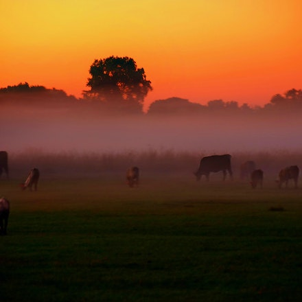 Misty Grazing     7.14.2017.3 - Misty Grazing. Rising fog after a summer rain storm lends an ethereal quality to this Lancaster County, Nebraska farm field....
