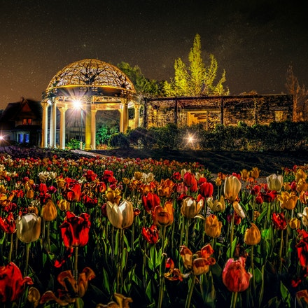 Royal Garden   5.6.2018.1 - Royal Garden. This majestic bed of tulips, found at the Sunken Gardens in Lincoln, Nebraska, looks like it has been tended...