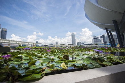 Lilies of Singapore