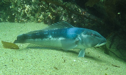 Blue Cod - Blue Cold
