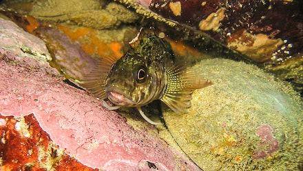 Paua - Paua and Fish