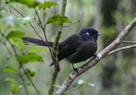 2008 052 - New Zealand fantail