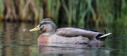 EOS74498 - mallard duck