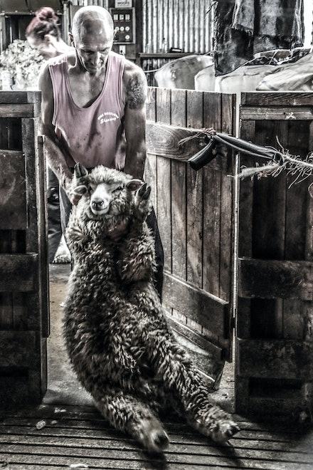 EOS72350-2 - Sheep Shearing New Zealand