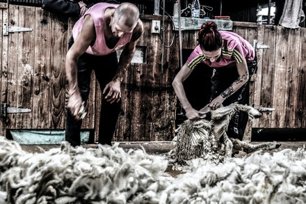 EOS72526-2 - Shearing New Zealand