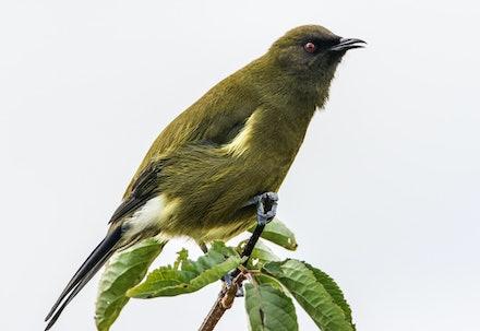 EOS73362 - Bellbird/korimako