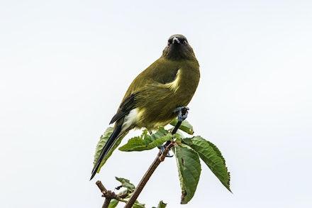 EOS73365 - Bellbird/korimako