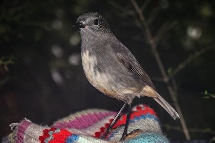 EOS73692 - South Island robin